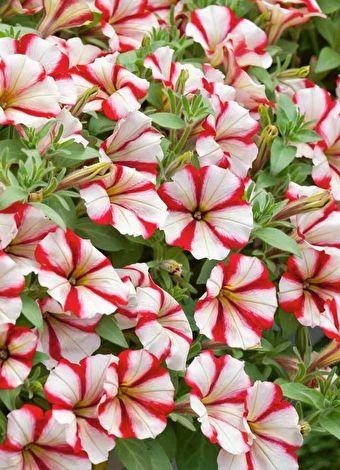 Balkon ve bahçe çiçeklerine nasıl bakılır?